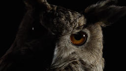 Big orange eyes of an owl in the dark, close up of the bird predator Live Action