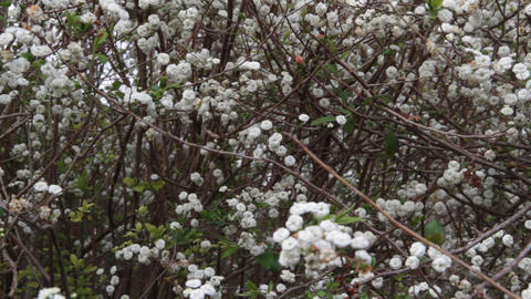 romantic background of white florets swaying in the wind in spring time Footage