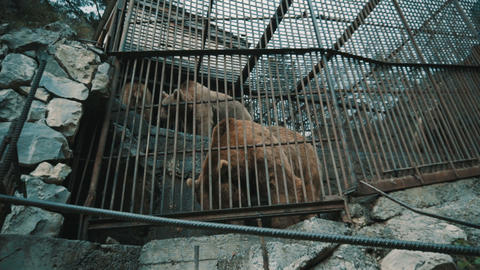 Brown bears in a cage Live Action