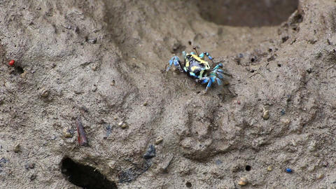 Fiddler Crab in a flood plain in the mangrove plant,Phuket island Thailand.HD vi Footage