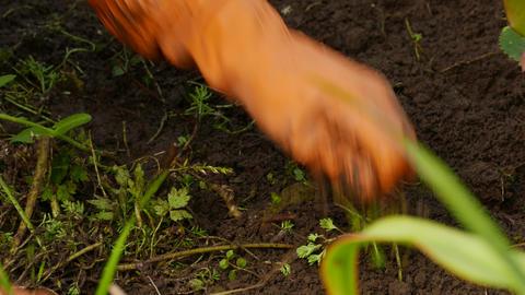 4K Ungraded: Female Gardener in Orange Rubber Gloves Weeding Flower Bed Live Action