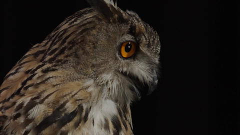An owl with open beak is looking around and moving his tongue, close up Live Action