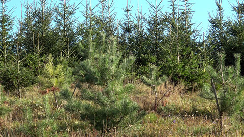 Young pines and spruce trees. Alley of small green seedlings of Christmas trees Live Action
