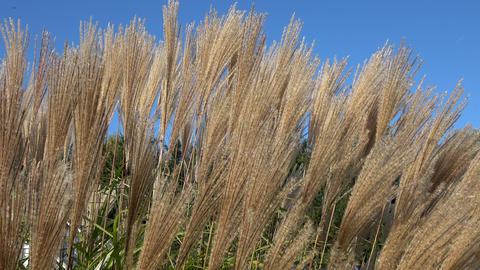 Pampas grass against the sky. Ornamental grass during autumn in close-up view Live Action