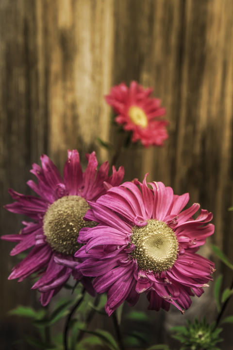 Three blooming purple asters in soft light on a wooden wall background Photo
