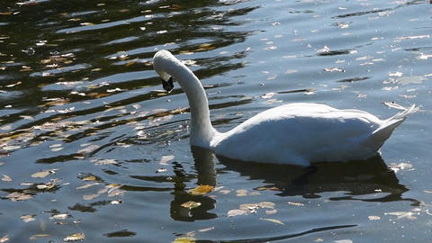 A white Swan and a grey duck feed together in an autumn pond. The interaction between the birds Archivo