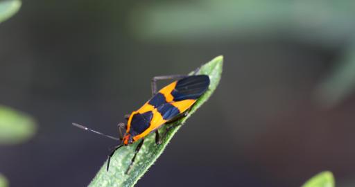Large Milkweed Beetle close up macro Live Action