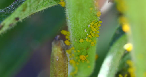Macro video of Aphids Live Action
