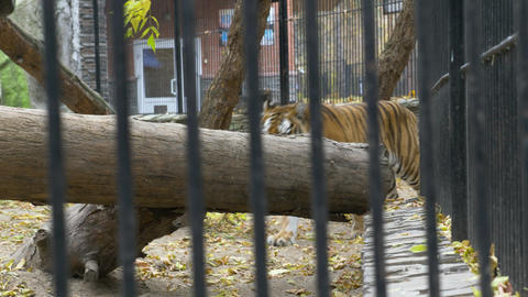 Bengal tiger walks around in a cage 004 Live Action