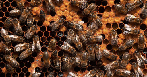 European Honey Bee, apis mellifera, Black Bees working on Bee Brood, Bee Hive in Normandy, Real Time Live Action