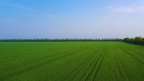 Aerial View Of A Green Wheat Or Rye Spring Field . Concept Of Agriculture Footage