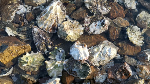 The surface of the ocean with a view of oyster shells and scallops at a shallow depth Live Action
