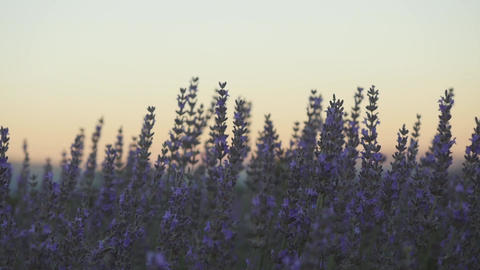Closeup of lavender flowers sunset time Live Action