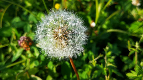 Natural background of green grass and fluffy dandelions Live Action