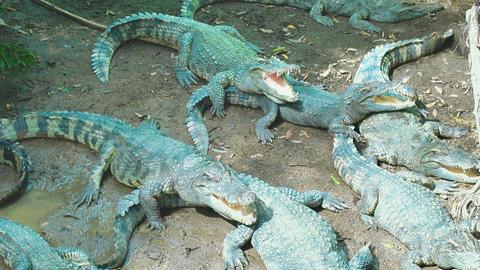 Green crocodiles enjoying sun bath Footage