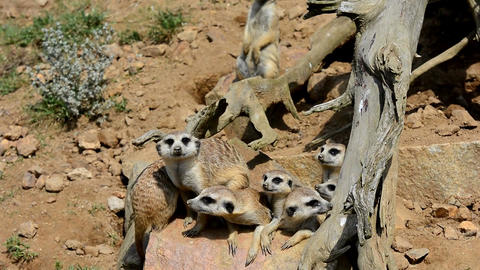 Meerkats on guard Footage