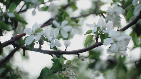 Spring, blooming apple tree, slow motion. Blooming fruit tree Footage