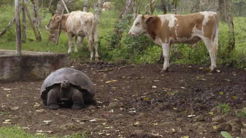 Galapagos Giant Tortoise And Cows on Santa Cruz Island in Galapagos Islands Live Action