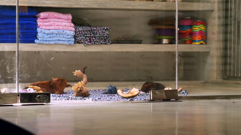 pretty puppies lie on carpet with scattered toys at shelf Footage