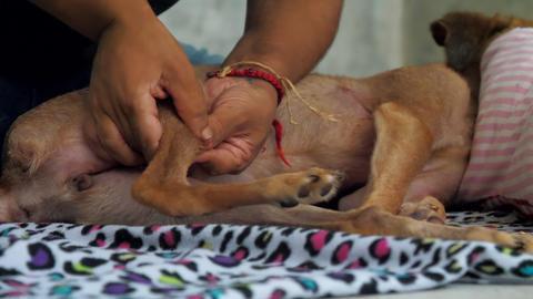 animal shelter veterinarian treats calm homeless dog legs Footage