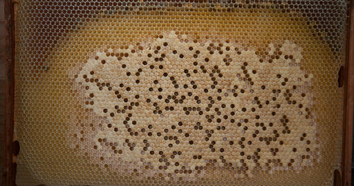 European Honey Bee, apis mellifera, Bee Brood, Bee Hive in Normandy, Real Time 4K Live Action