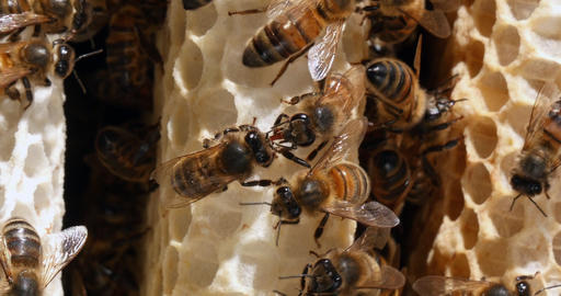 European Honey Bee, apis mellifera, Bees on a wild Ray,... Stock Video Footage