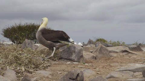 Galapagos Islands - Galapagos Albatross aka Waved albatrosses on Espanola Island Live Action