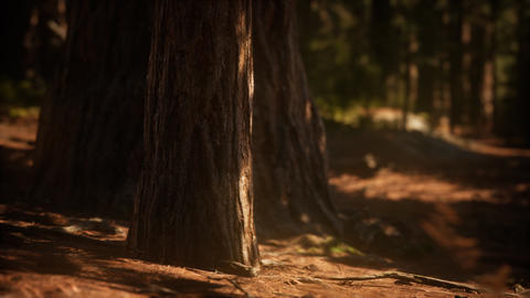 Early morning sunlight in the Sequoias of Mariposa Grove Footage