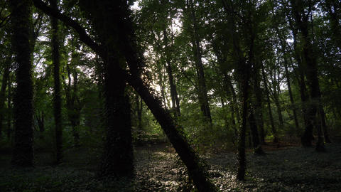 Green forest ivy trees sunlight thru trees Live Action