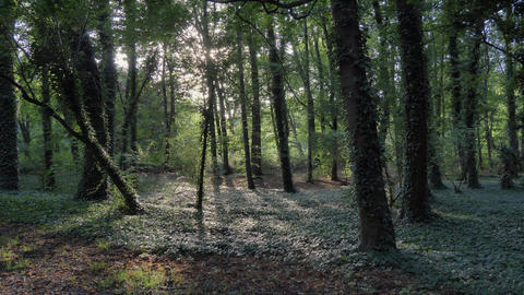 Green forest ivy trees sunlight thru trees Footage