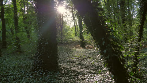 Green forest ivy trees sunlight Footage