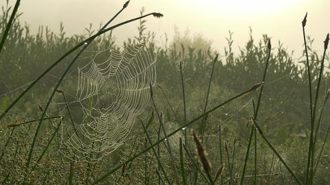 Spider web on grass on a foggy morning Live Action