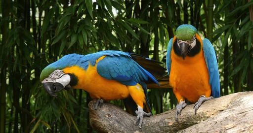 Blue-and-yellow Macaw, ara ararauna, Adults Beak in Beak, Reel Time 4K Footage
