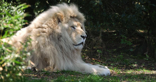 White Lion, panthera leo krugensis, Male laying, Real Time 4K Live Action