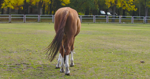 Back view of a brown horse eating grass in the corral. Graceful animal grazes on Footage