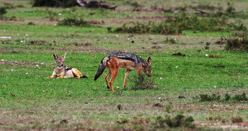 Black Backed Jackal, canis mesomelas, Adult standing on Trail, Masai Mara Park in Kenya, Real Time Footage