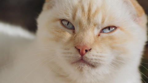 The face of a Scottish fold white cat, close-up Live Action