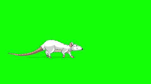The white rat comes, sniffs and leaves animation Chroma Key Videos animados