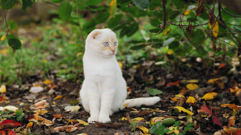 Gorgeous curious scottish fold white cat looks around Live Action
