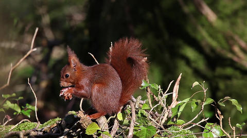 Red Squirrel, sciurus vulgaris, Adult Eating Hazelnut, Normandy in France, Real Time Footage