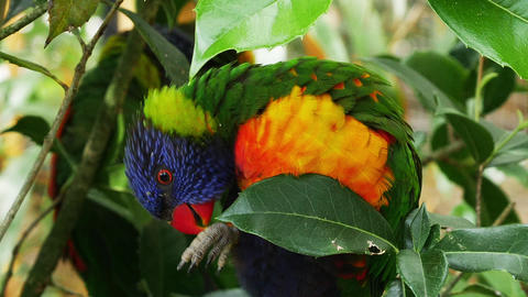 Rainbow Lorikeet, trichoglossus haematodus moluccanus, Adult standing on Branch, Real Time Footage