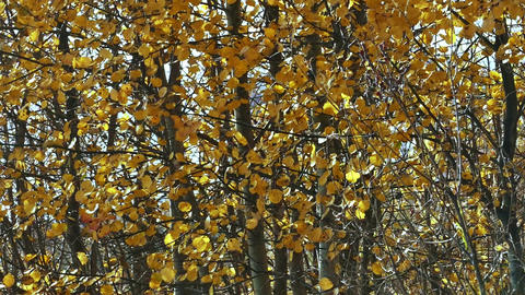Yellow leaves on the branches of aspen tremble in the autumn wind GIF