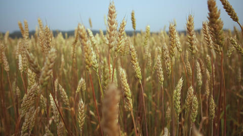 Growing wheat crop, close up. Agricultural business concept. Wheat Field. Grain Live Action