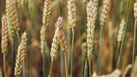 Wheat field close up. Growing wheat crop. Agricultural business concept Footage