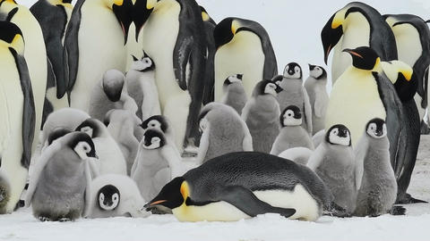 Emperor Penguins with chicks in Antarctica Live Action