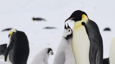 Emperor Penguin with chick in Antarctica Live Action