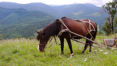 Harnessed Horse Grazing in a Meadow Footage