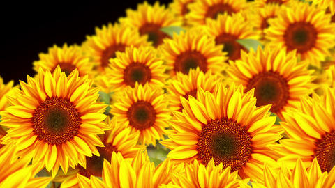 garden filled with sunflowers, CG, loop Animation