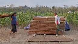 Men collecting dried tobacco,Borobodur,Java,Indonesia Footage