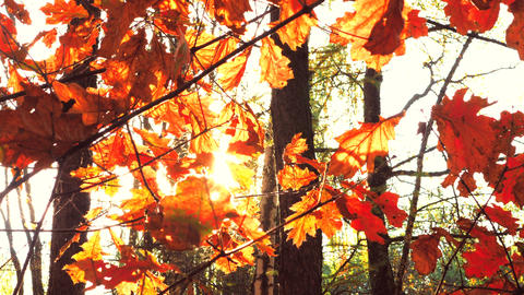 Autumn sunrays with leaves on maple branch in dusty park. Colorful autumnal leaf Live Action